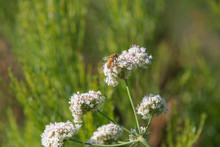 California Buckwheat And Worker Bee At Lake Hodges, Escondido, California