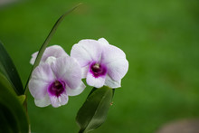 Light Purple Dendrobium Orchid Flower Blooming With Vivid Central Petal And Blurred Green Grass Background