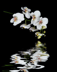 Panel SzklanyWhite Orchid on a black background reflected in a water