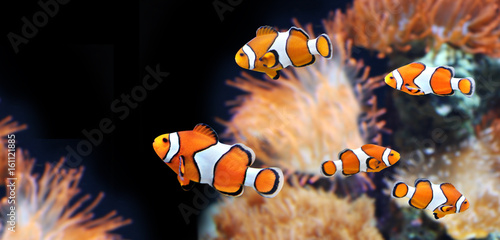 Fotomural  Sea anemone and clown fish