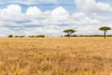 Fototapeta Sawanna - elephants in savannah at africa