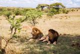 Fototapeta Sawanna - male lions resting in savannah at africa