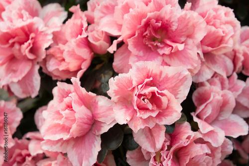 Blossoming azalea close up