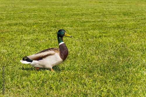 Ducks walking in Lucavsala public city park in Riga, Latvia Poster