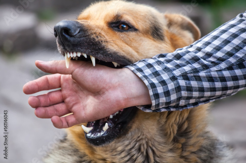 Fotomural  A male German shepherd bites a man by the hand.