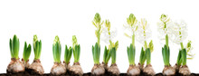 Close-up Of Sprout White Hyacinth In A Pot Isolated On White Background