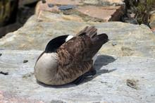 Canadian Goose Sitting On Rock
