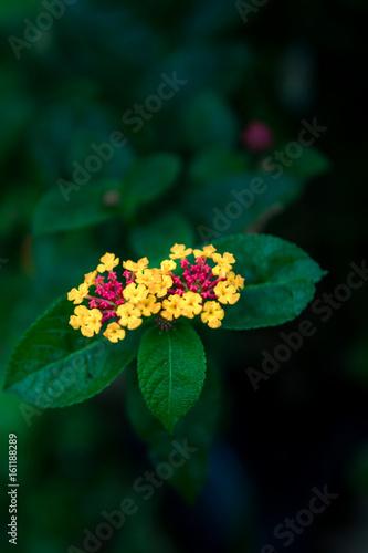 Fotografie, Obraz  Blossom Hedge flower or Lantana flower and herbs.