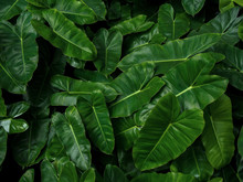 Tropical Leaf Pattern Nature Green Background Of Heart Shaped Dark Green Leaves Philodendron Burle Marx (Philodendron Imbe), Lush Foliage Plant On Dark Background.
