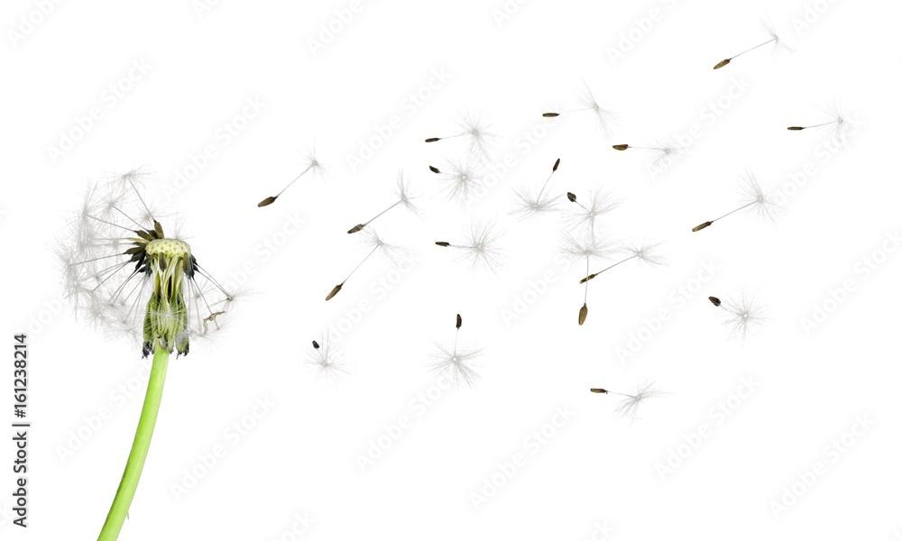 Fototapety, obrazy: Dandelion.