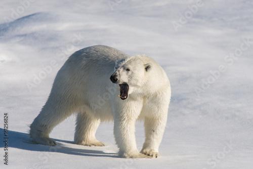 Obrazy na płótnie Canvas Polar bear on the pack ice