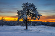 Lone Pine Tree And Snow At Sun...