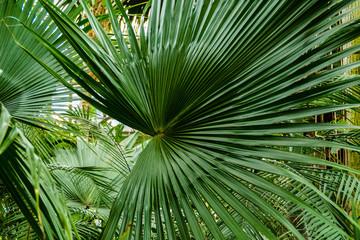 Zielone liście palmy.
