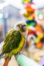 Fancy Green-Cheek Conure Parro...