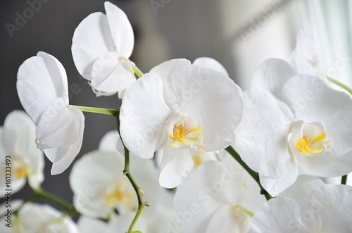 Fototapeta piękny biały storczyk w pokoju  obraz