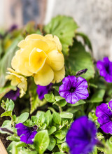 Macro Closeup Of Purple Petunia Flowers Against Stone Background