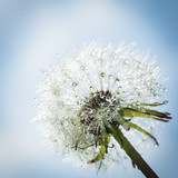 Dandelion with drops of water - 161357407