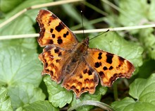 European Comma Or Anglewing Bu...