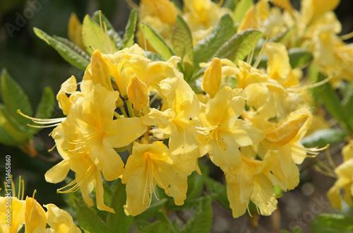 Plakat Azalia żółć żółta