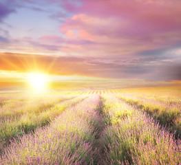 Fototapeta Natura Sunset sky over a violet lavender field in Provence, France. Lavender bushes closeup on evening light.