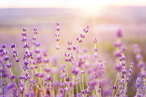 Spoed Fotobehang Lavendel Lavender bushes closeup on sunset. Sunset gleam over purple flowers of lavender. Provence region of france.