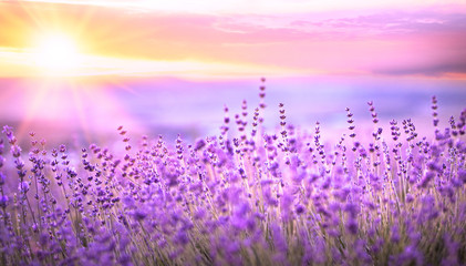 Panel SzklanySunset sky over a violet lavender field in Provence, France. Lavender bushes closeup on evening light.