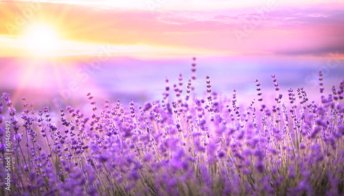 Sunset sky over a violet lavender field in Provence, France. Lavender bushes closeup on evening light.