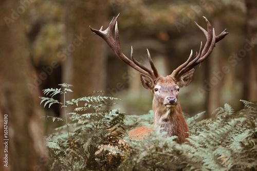 Poster Cerf cerf cervidé brame mammifère bois forêt roi chasse cor portrait tête fougère nature sauvage