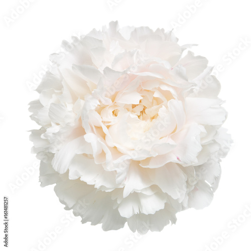 Delicate peony isolated on white background