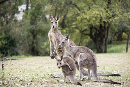 Foto op Plexiglas Kangoeroe Kangaroo family
