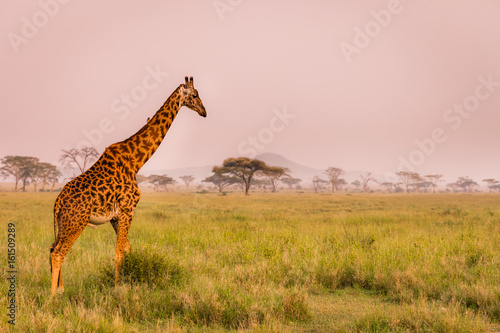 Foto op Canvas Giraffe Baby giraffe safari Serengeti National Park, Tanzania. Wildlife scene of African Safari. Baobab tree in the background.