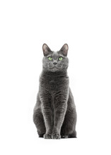 Beautiful Gray Cat Of Breed Russian Blue Sits And Looks Straight Into The Frame. Background Is Isolated.