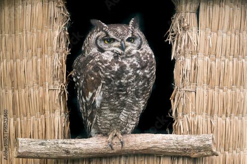 hibou grand duc oiseau rapace proie aigrette nocturne Canvas Print