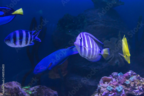 Fototapety, obrazy: Tropical sea fish in an aquarium. Such fish like to draw children, artists and website designers.