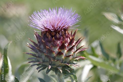 Slika na platnu Artichoke in bloom