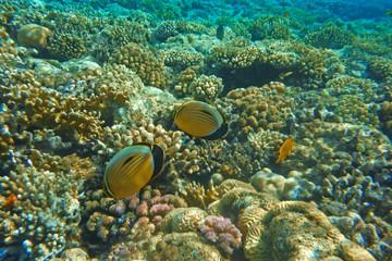 Naklejka na ściany i meble Multicolored fish swim over the coral reef.
