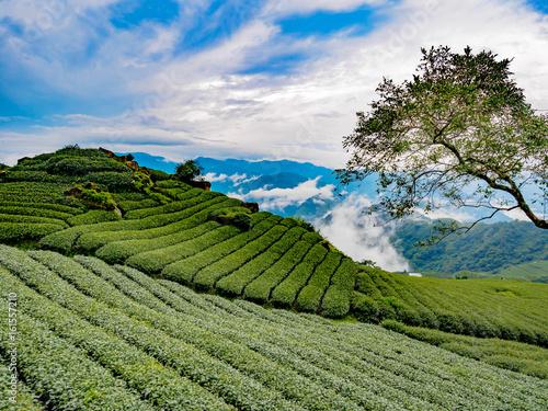 Fotografía  台湾 阿里山国家風景区 茶畑 Alishan tea on Taiwan, in the mist of the morning.