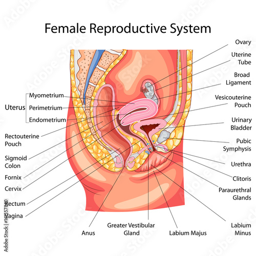 Education Chart of Biology for Female Reproductive System Diagram ...
