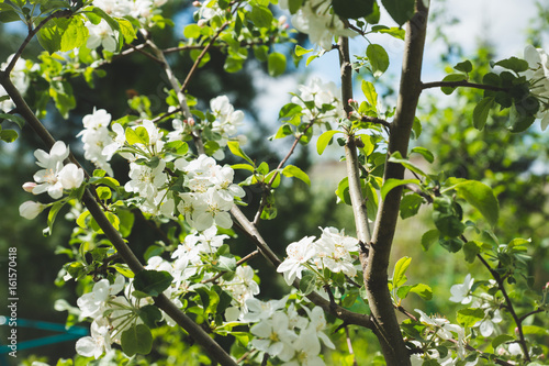 Apple tree blooming in the garden. Selective focus.