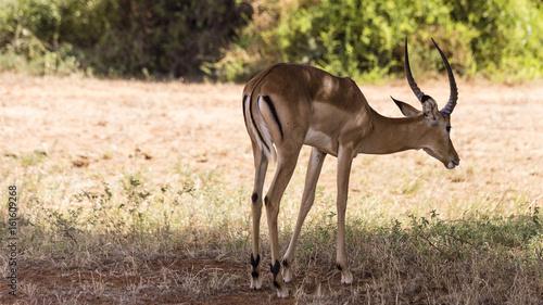 Antelope Springbock Tsavo Ost