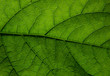 Texture of a green leaf macro