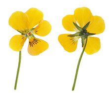 Dried And Pressed Yellow Flower Viola  Isolated On White