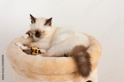 Foto op Aluminium Kat A seal point Birman cat, 4 month old kitten, male with blue eyes is sleeping on cat scratching barrel