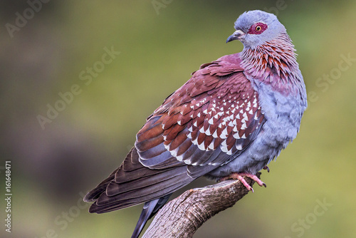Speckled Pigeon (Columba guinea). Ethiopia, Simien Mountains National Park
