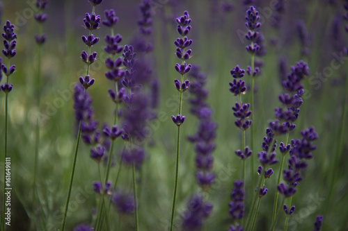 Fototapety, obrazy: Lavendelblüten