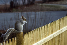 Squirrel On Fence Post In Mass...