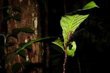 Long Legged Centipede Under Leaf