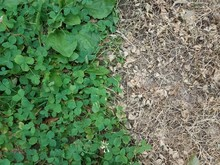 Dead Patch Of Clover