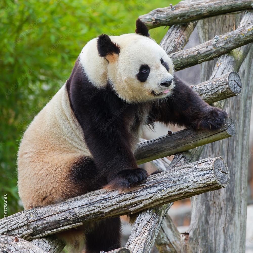 Giant panda climbing