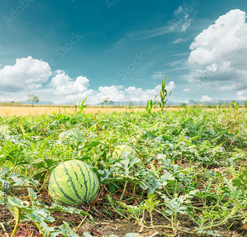 watermelon field in the summer